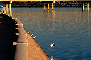 Snowy Egrets at Tempe Town Lake