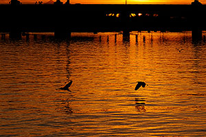 Snowy Egrets flying at sunset at Tempe Town Lake