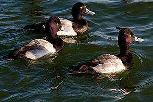Lesser Scaups (Diving Ducks) [males] at Fountain Hills lake
