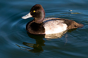 Lesser Scaup (a Diving Duck) [male] at Fountain Hills lake