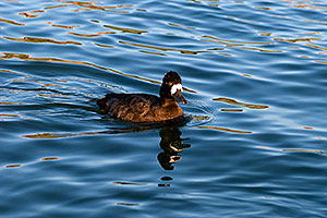 Lesser Scaup (a Diving Duck) [female] at Fountain Hills lake