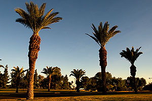 Queen Palm Trees at Kiwanis Park