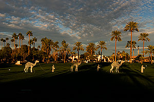 Camel caravan and Palm Trees by Mesa Arizona Temple