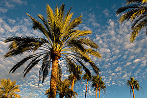 Palm Trees by Mesa Arizona Temple