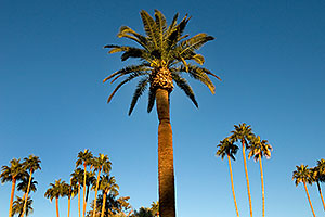 Palm Trees at Pioneer Park at Main St in Mesa