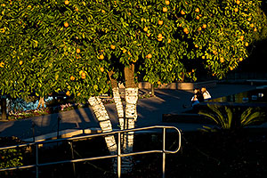 People and Orange tree by Mesa Arizona Temple