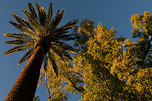 Palm Trees and trees at Mesa Arizona Temple Garden