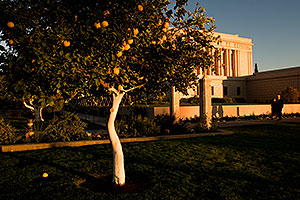 Orange tree by Mesa Arizona Temple