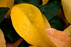 Water droplets on leaves -- Fall Colors in Tempe