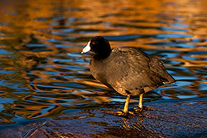 American Coots at Freestone Park