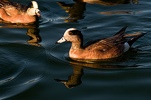 American Wigeon [males] at Freestone Park