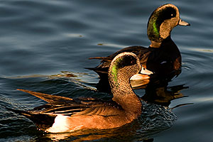 American Wigeons [males] at Freestone Park