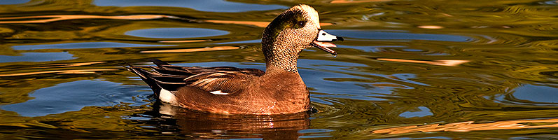 American Wigeon [male] at Freestone Park