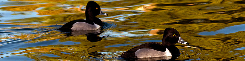 Ring-necked Ducks [males] at Freestone Park