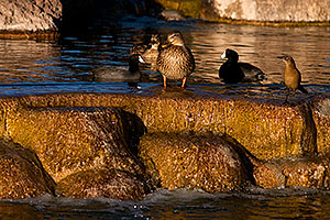 Mallard Ducks [female, center] and Great-tailed Grackle [right] at Freestone Park