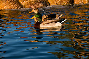 Mallard Duck couple [male in front] at Freestone Park