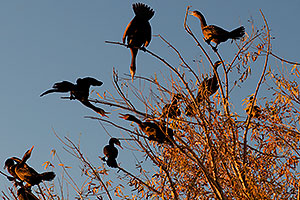 Cormorants at Riparian Preserve
