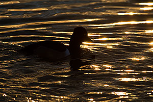 Ring-necked Duck [male] at Riparian Preserve