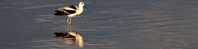 Avocet [in Winter plumage] at Riparian Preserve