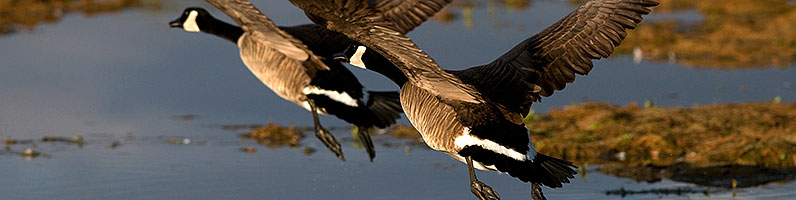 Canadian Geese taking off at Riparian Preserve