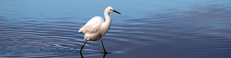 Snowy Egret at Riparian Preserve