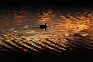 American Coot in the first light at Riparian Preserve