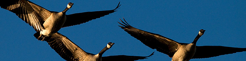 Canadian Geese in flight at Riparian Preserve