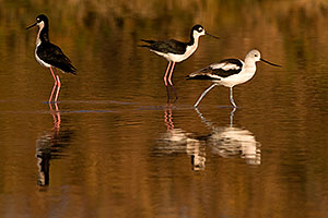 Avocet [in Winter plumage] passing 2 Black Necked Stilts at Riparian Preserve