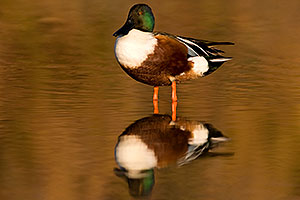 Northern Shoveler (Spoon-billed Duck) at Riparian Preserve