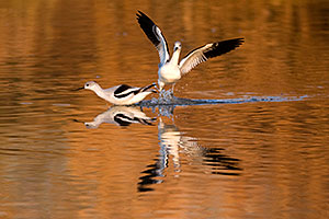 Avocets at Riparian Preserve