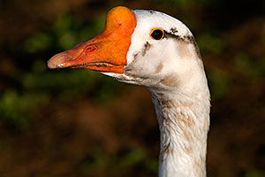 Chinese Goose at Riparian Preserve