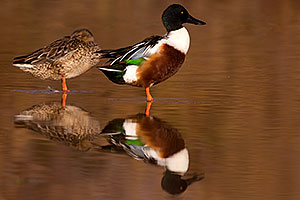 Northern Shovelers (Spoon-billed Ducks) couple at Riparian Preserve