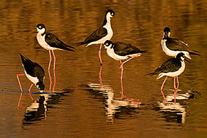 6 Black Necked Stilts reflection at Riparian Preserve