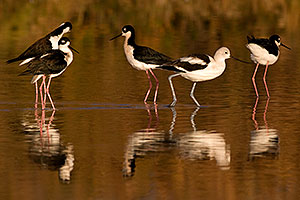 Avocet among 4 Black Necked Stilts at Riparian Preserve