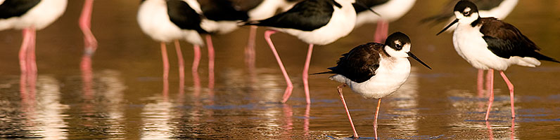 Black Necked Stilts at Riparian Preserve