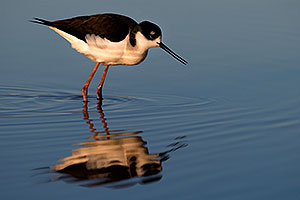 Black Necked Stilt at Riparian Preserve