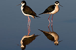 2 Black Necked Stilts at Riparian Preserve
