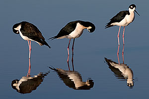 3 Black Necked Stilts at Riparian Preserve
