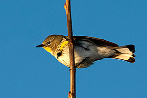 Yellow-rumped Warbler at Riparian Preserve