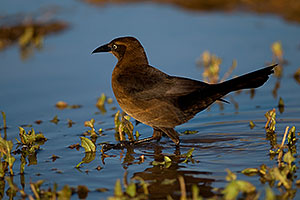 Great-tailed Grackle [female] at Riparian Preserve