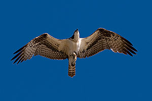 Osprey in flight at Riparian Preserve