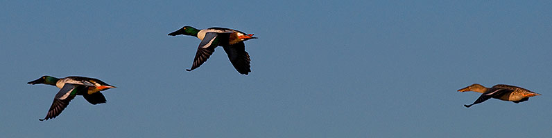 Northern Shovelers (Spoon-billed Ducks) in flight at Riparian Preserve