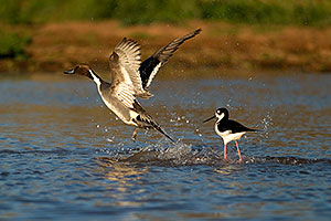 Northern Pintail chased by territorial Black Necked Stilt at Riparian Preserve