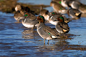 Green-winged Teals at Riparian Preserve