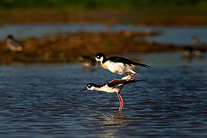 Black Necked Stilts mating at Riparian Preserve