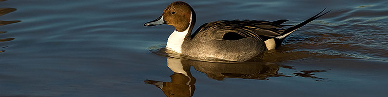 Northern Pintail [male] at Riparian Preserve
