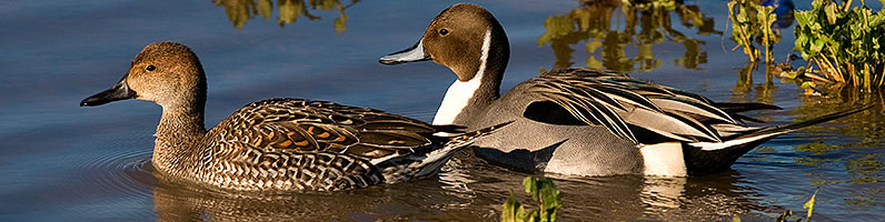 Northern Pintails couple at Riparian Preserve