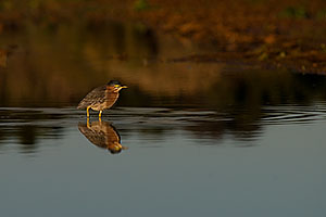 Green Heron at Riparian Preserve