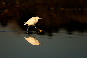 Snowy Egret walking at Riparian Preserve