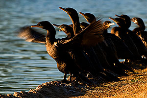 Cormorants at Freestone Park